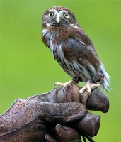 The Northern Pygmy Owl