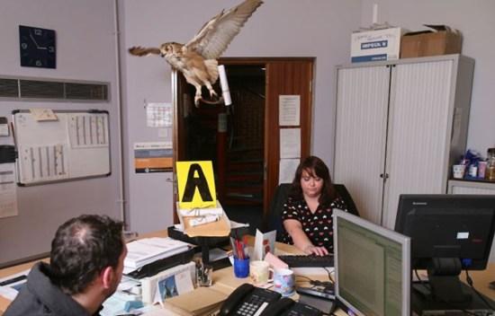 Burung hantu memamerkan keahliannya membawa surat di ruang kerja Amy Smith dan rekannya di KOC.
