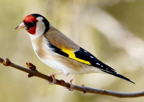 Kicauan goldfinch tajam, berisik, melengking-lengking, tapi merdu.