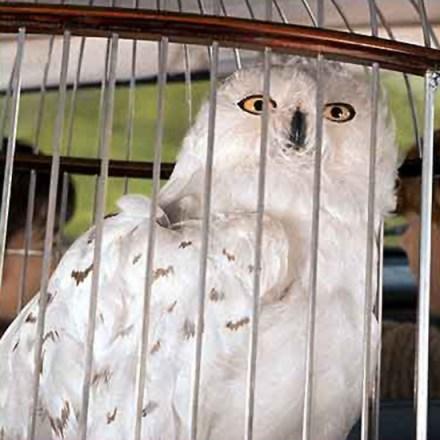 Burung hantu pemeran Hedwig dalam film Harry Potter.