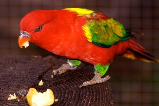 Burung kasturi ternate (Lorius garrulus).