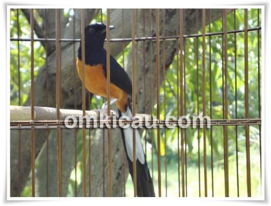 Ditempel 11 ekor burung dari 8 jenis burung