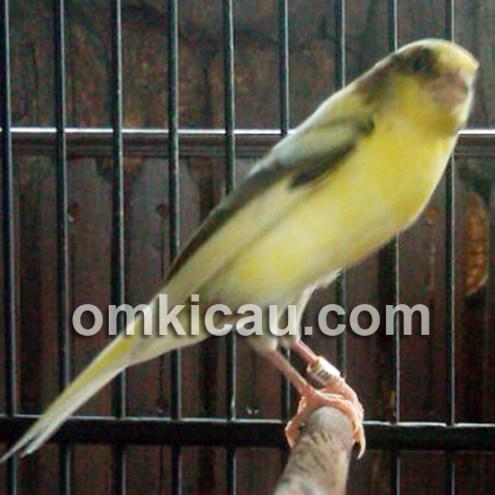 NF2IS Bird Farm Kenari