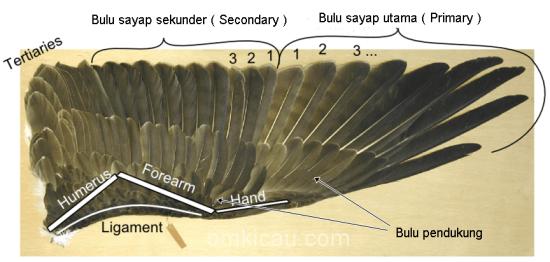 Bulu yang digunakan burung untuk terbang