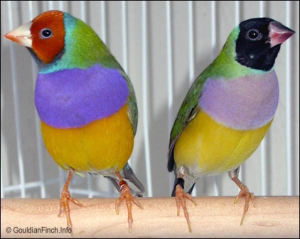 Jenis burung gouldian finch yang lazim dijual di pasaran