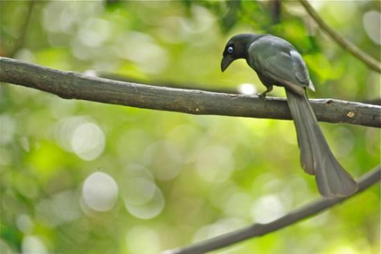 Tangkar cetrong ( Racket-tailed treepie )
