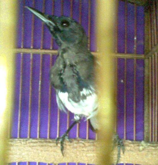 Burung yang sedang mabung