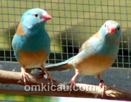 blue-capped waxbill