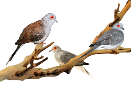 Diamond dove cukup populer di negara tetangga dan di Eropa