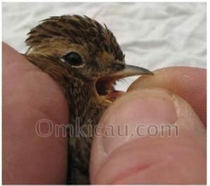 Bintik hitam pada lidah yang sering dijadikan patokan memilih burung jantan