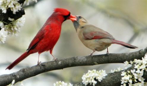 Burung kardinal