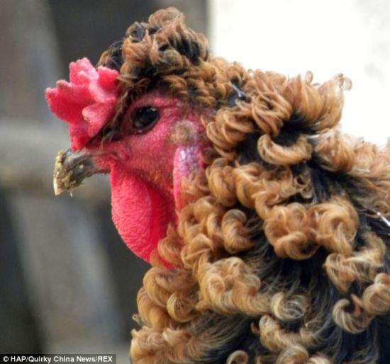 Ayam berbulu keriting dari provinsi Henan di Cina