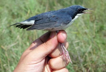 Burung berkecet siberia