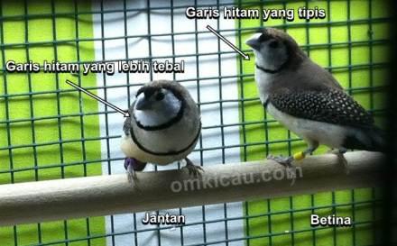 Beda jantan dengan betina burung finch owl