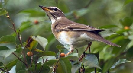 Burung anis kuning betina