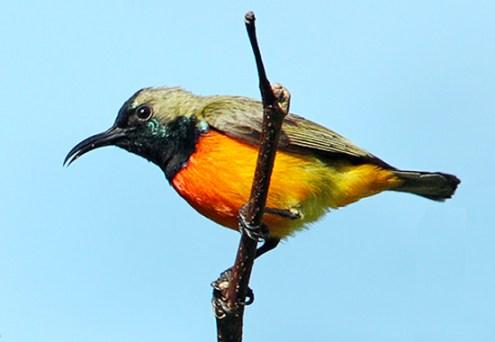 Download suara burung-madu matari