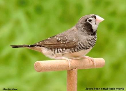 Finch hibrida yang merupakan keturunan dari perkawinan silang zebra finch dengan owl finch