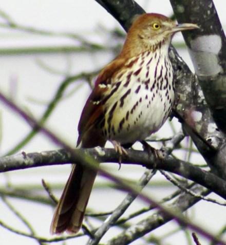 Burung brown thraser