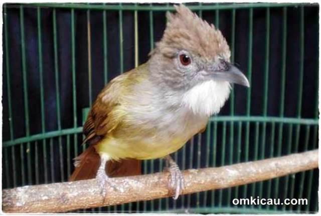 Bagaimana mengatasi burung cucak jenggot yang over birahi parah