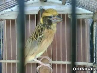 Merawat burung manyar