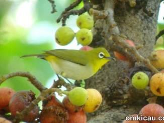 Efek buah manis pada pleci