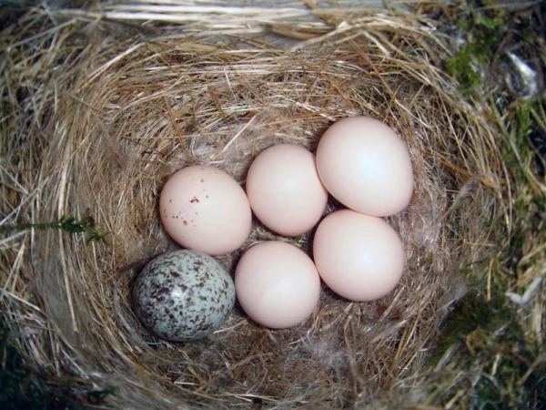 telur burung parasit