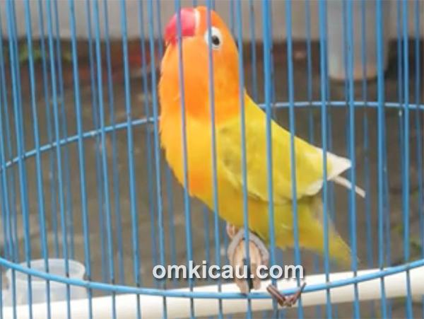 Lovebird Kuning