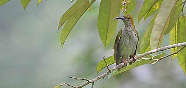 Pijantung gunung (Arachnothera affinis)