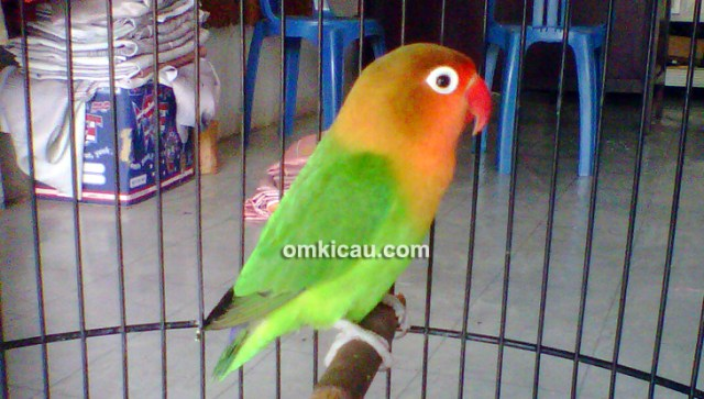Lovebird Soepek Love