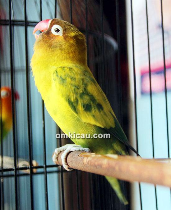 Lovebird Solo