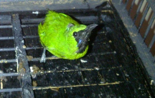 Melatih jinak dengan membiarkan burung merasa lapar