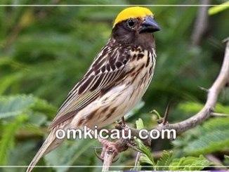 perawatan burung manyar