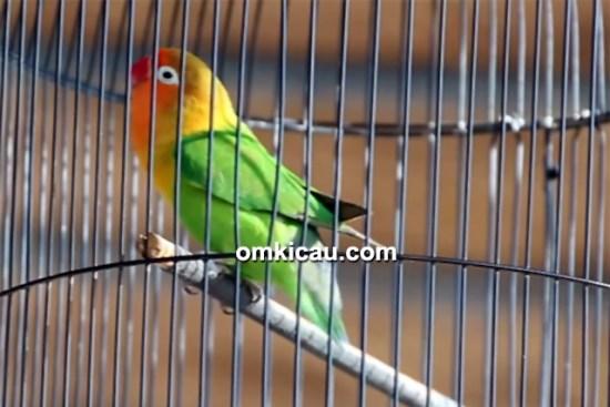 lovebird D'bora
