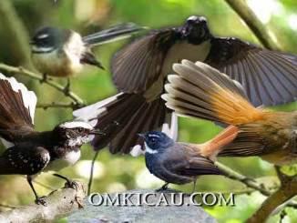 Ragam burung kipasan