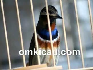 download suara burung bluethroat untuk masteran