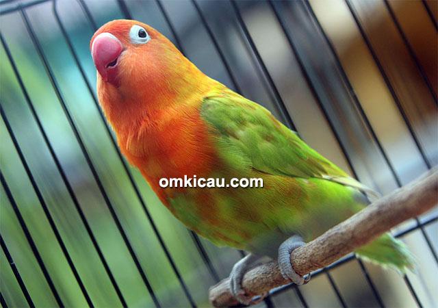 Monik, lovebird blorok merah
