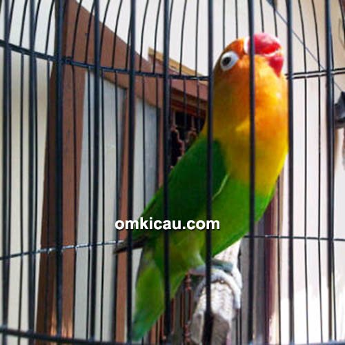 Lovebird Seiryu