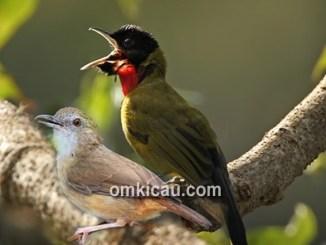 Download kombinasi suara burung huamei mini dan samyong
