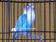 Lovebird Dewi Sri