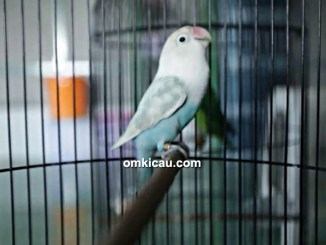 Lovebird Lorde