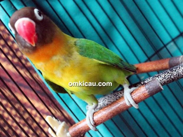 Lovebird Yuki