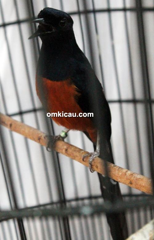 Suara burung murai batu blacktail