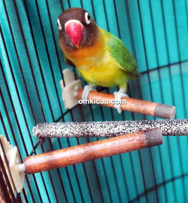 tangkringan khusus lovebird Yuki
