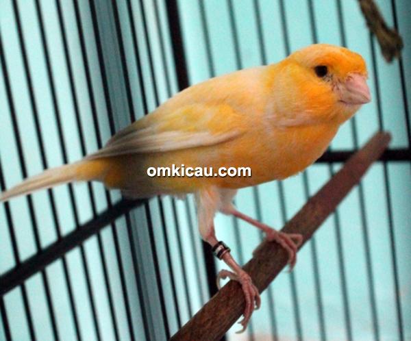 CBCL Canary - Kenari Senopati
