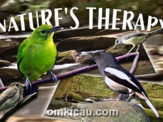 Download kombinasi suara burung betina untuk terapi dan pemancing bunyi