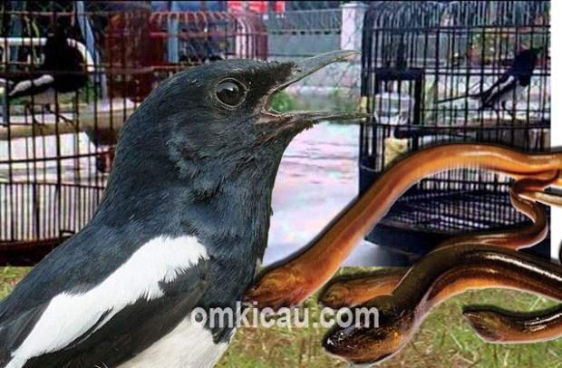 Manfaat belut untuk meningkatkan mental burung peliharaan