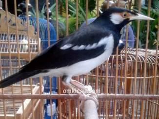 Burung jalak suren yang terkenal dengan ocehannya ternyata rentan dengan stres