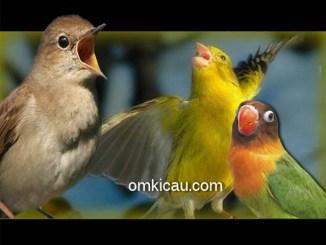 Suara masteran kombinasi burung nightingale, kenari dan lovebird