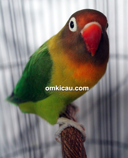 Lovebird Soimah