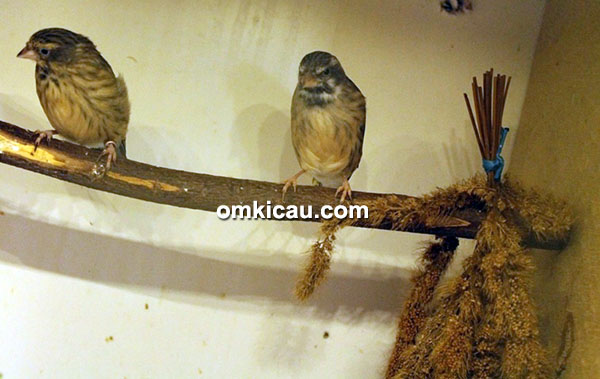 Breeding blackthroat lokal Trisakti BF